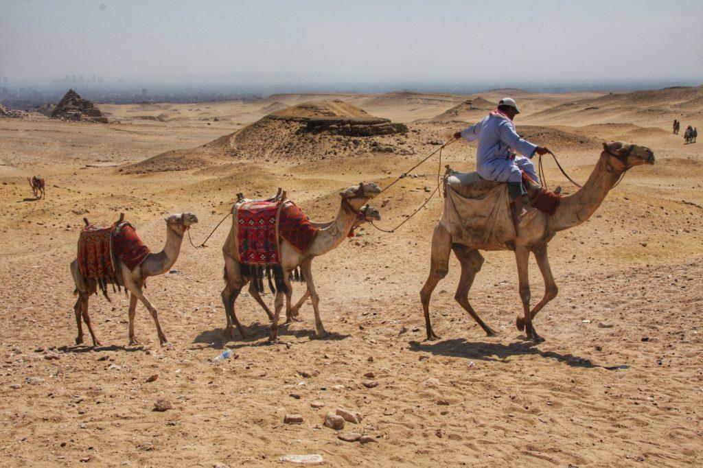Camels in the Egypt desert