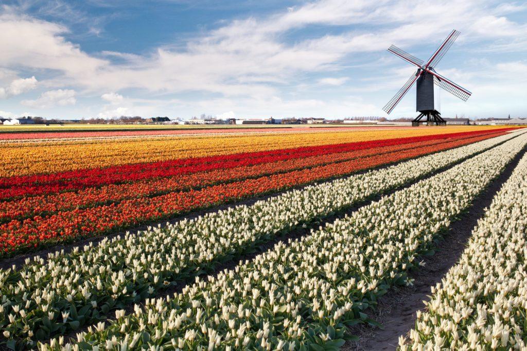 Windmill on field of tulips in Netherlands